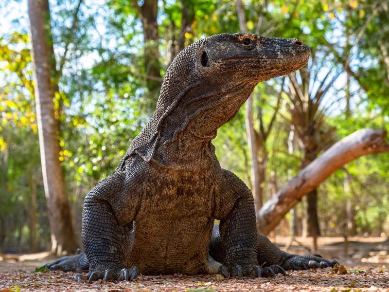dragon de komodo alzado sobre patas delanteras
