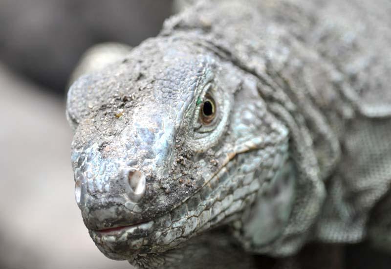 dragon de komodo anciano piel piedra