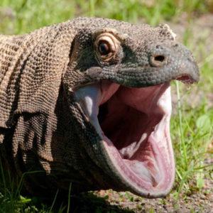 dragon de komodo enseñando sus dientes