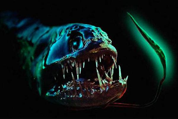 pez dragón negro detalle fotóforo en barbilla