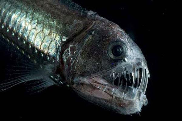 pez vívora otro pez demonio