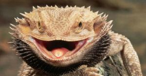 Dragón Barbudo: Todo sobre la Pogona Vitticeps