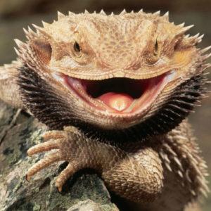 dragón barbudo con cresta erizada cara pocos amigos